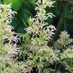 Полынь (Artemisia stelleriana)