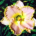 Лилейник (Hemerocallis)