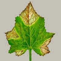 Пораженный лист