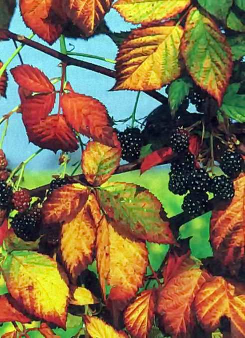 Урожай ягод на даче