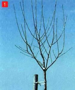 Высокоштамбовая яблоня