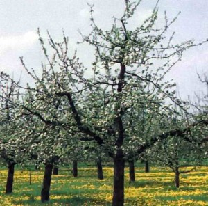 Яблони с тремя скелетными ветвями