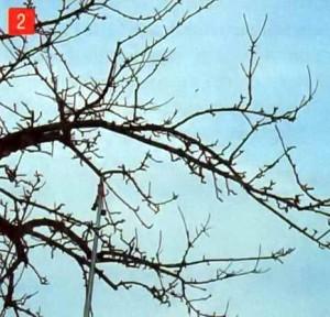 Дерево после прореживающей обрезки