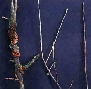 Ветви, пораженные мучнистой росой