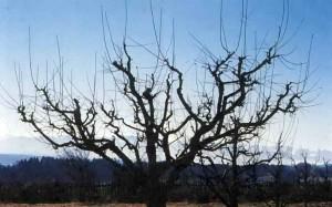 Вырезают старую плодовую древесину
