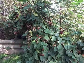 Ежевика в саду