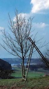 Дерево до формировки