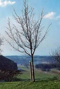 Деревце после обрезки