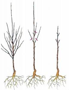Деревце до и после обрезки