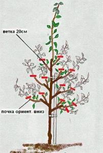 Летняя обрезка дерева первого года роста