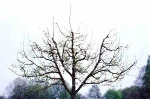 Садовое дерево