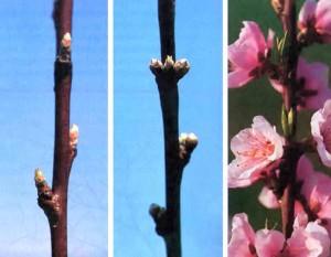 Побеги персикового дерева