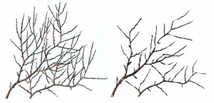 Ветка персика до и после обрезки
