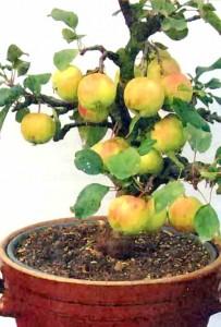 Яблоня на подвое