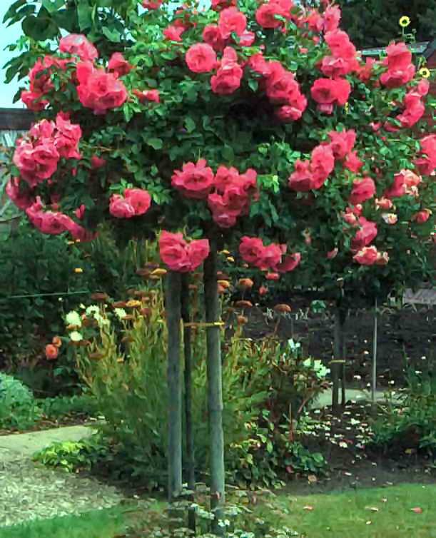 Роза степная и шиповник