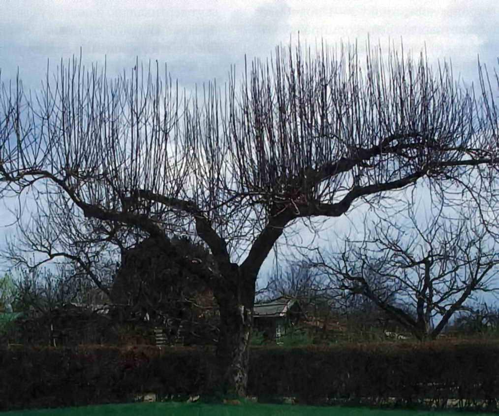 фотографий пензе, волчки на яблоне фото откопала