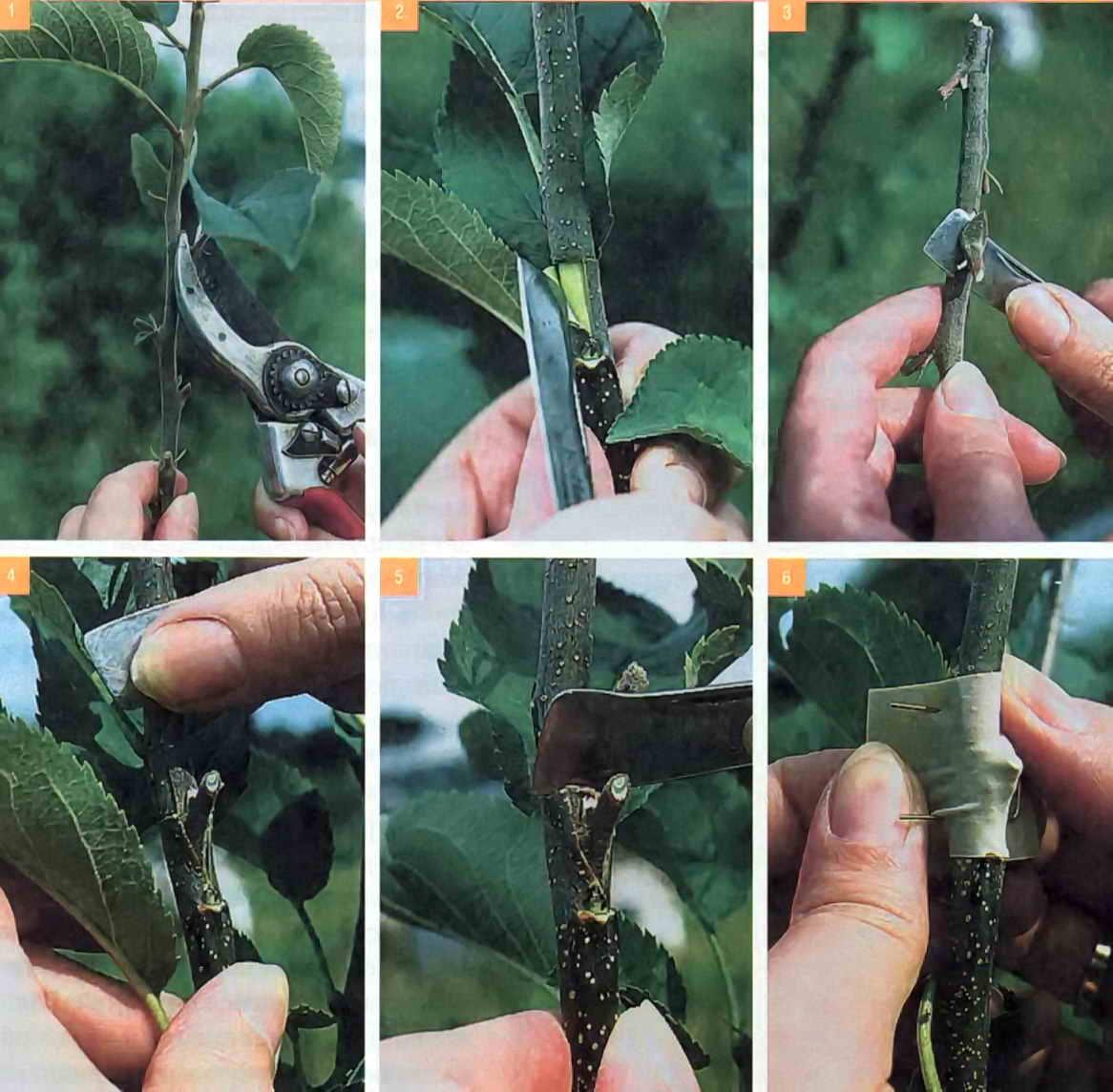 Окулировка дерева