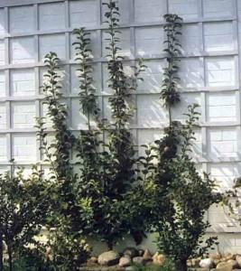 Дачные деревья