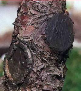 Замазанные раны дерева