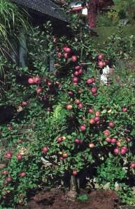 Веретеновидный куст яблони