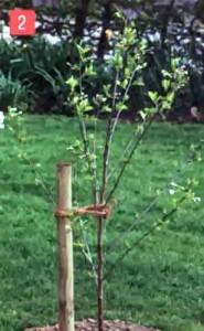 Молодое деревце в саду