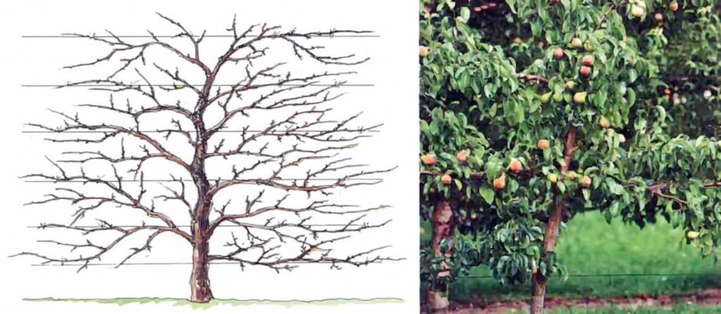 Распределение ветвей по шпалере