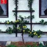 Плодоношение деревца