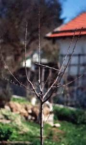 Молодое сливовое деревце