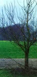 Садовое деревце