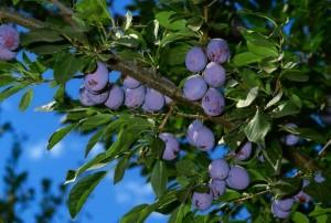 Сливовое дерево