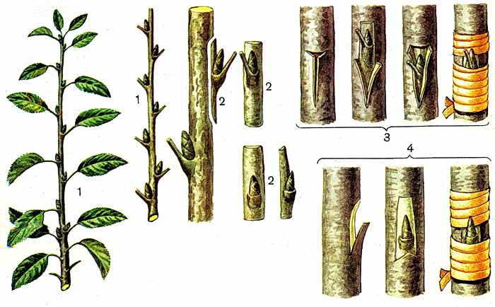 Прививка дерева