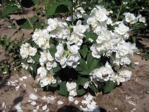 Чубушник в период цветения