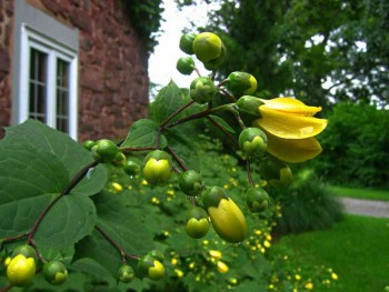 Киренгешома дланевидная в цвету