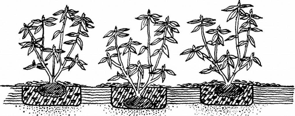 Неправильная и правильная посадка рододендрона