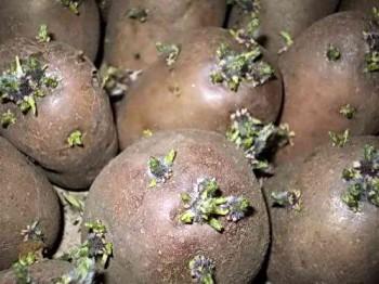 Картофельные клубни