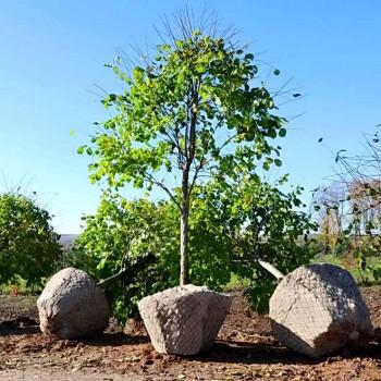 Высокие деревья в саду
