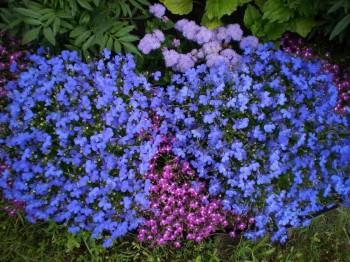 Цветении лобелии