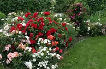 Живая изгородь с розами