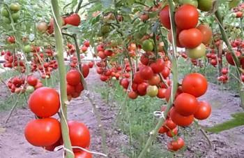 Урожай томатов на даче