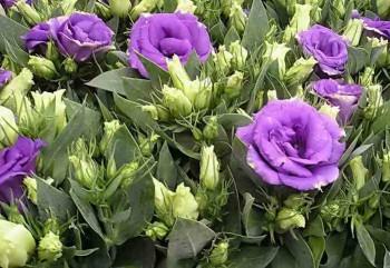Цветение эустомы