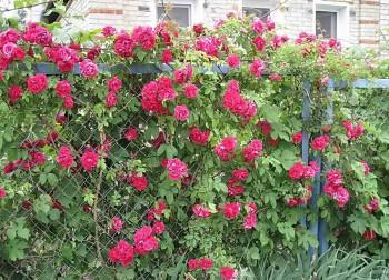 Кусты роз возле дачной ограды