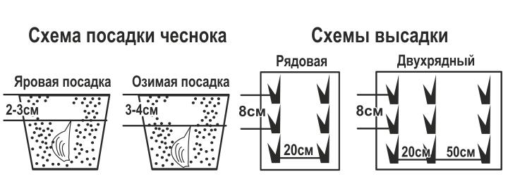 Схема высадки чеснока