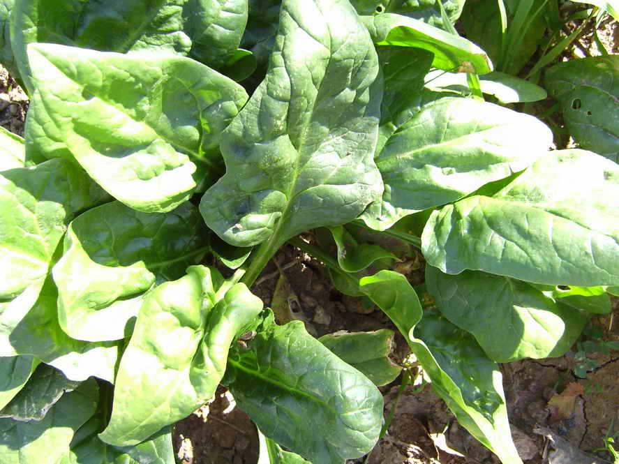 посев шпината весной