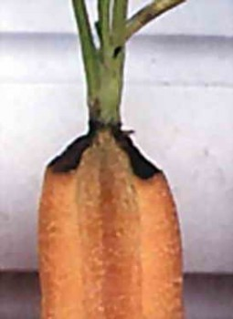 Фузариоз моркови