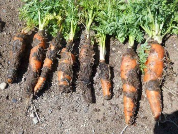 Поразившая морковь чёрная гниль