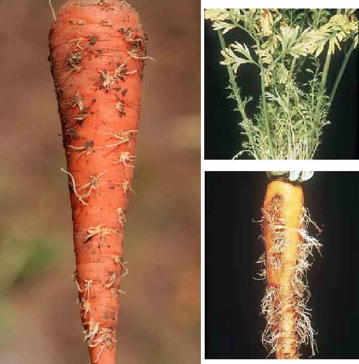 Желтуха моркови