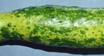 Обесцвечивание плодов огурца