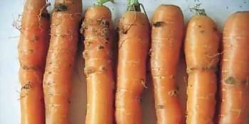 Парша моркови
