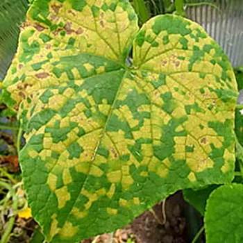 Проявление болезни на листве