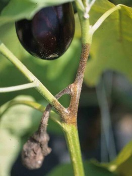 Пораженные стебли растения